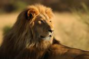 AfricanLionSafari-174x116